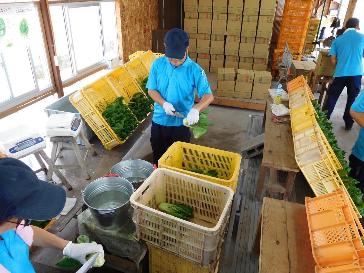 チンゲン菜の選別作業